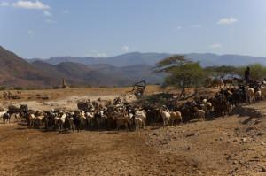 Livestock-in-Turkana-Kenya1
