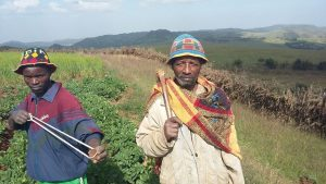 Farmers Akililu Zega and Manaya Mamo at the potato plantation.