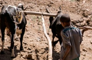 Ploughing a hard furrow in Ethiopia, pic courtesy Concern Worldwide.